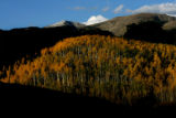 An aspen grove is lit up by the setting sun, on Forest Road 400, September, 19, 2007, near Basalt....