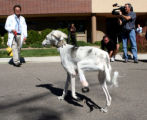 Dr. Erick Egger (cq) walks Sally (cq) ,a royal breed Saluki from Kuwait, after she was  fitted...
