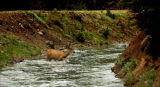 (GRAND DITCH Colo., June 30, 2004)  A deer makes its way across the The Grand Ditch June 30, 2004)...