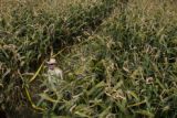 Kevin Wright (cq), stands short under tall corn stalks while waiting for his family at the...