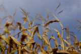 Corn Stalks blow in the air during a windy evening in the corn maze at the Botanic Gardens at...