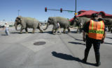 Elephants with the Ringling Bros. and Barnum & Bailey circus cross the street at Brighton Blvd...