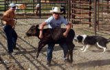 (Heeney Colo., June 23, 2004)  Clay Culbreath takes down a calf with his uncle Frank Culbreath...