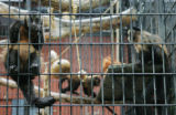 JOE470 Several of the Denver Zoo's 17 hooded capuchin monkeys in his enclosure on Tuesday morning,...
