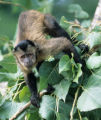 Below please find a statement regarding a deceased capuchin monkey that tested positive for...