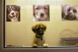 (DENVER, CO., SEPTEMBER 13, 2004) Gunner, a 4 month old male German Shepherd mix, waits to be...
