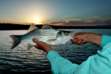 A silver wiper and sunset at Pueblo Reservoir. The hybrid stripers feasted on shad and streamer...
