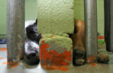 DLM6233  Paint chips away from the wall as two dogs peer out of their cages at the Denver...