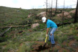 Evan Smith (cq) digs a hole to plant a tree in the Hayman burn, off Forest Road 211, near Deckers,...