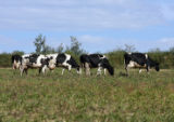 Dairy cattle eat in a pasture at the Aurora Organic Dairy Farm in Platteville on Friday September...