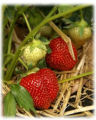 Strawberry plants in straw mulch gready to pick