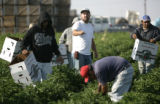 Fourth generation farmer Joe Petrocco shows workers what to pick as they harvest eggplants and...