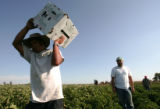 Fourth generation farmer Joe Petrocco, right,  oversees the  harvest of eggplants and chilies at...