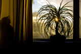 House plant in window (Tropical Bonsai) with sillouette shadow of cat behind the curtain. Photo...