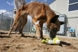 Neeko a Belgian Malinois although still emaciated begins to play outside at Alameda East...