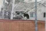 This photo of Maggie on the fence was taken by an unknown person passing by the fence. It was...