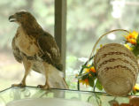 ALBIN101 - This Red-Tailed Hawk is shown after it broke into the back-porch screened door at the...