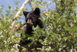 Zach Ornitz/Aspen Daily News A bear cub searches for apples in a tree behind City Hall in downtown...