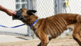 Tammy Wolfe, a PT for canines plays tug with Neeko, a Belgian Malinois although still emaciated at...