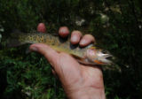 A genetically pure Colorado River cutthroat trout is one of the reasons sportsmen want drilling...
