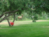 Toby Stensland had a couple bull elk in his neighborhood the last couple days, in Lakewood.  The...