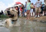 """Sunny"" (cq) , a golden labrador takes a dive at Sloan's Lake in Denver, as Kailee Kamp..."
