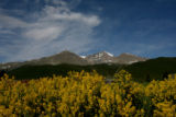 Tall Goldenrod grows along hwy 72,  with Longs Peak in the background, in Rocky Mount National...