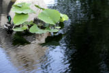 Two ducks float in the Reflection Pool at the Denver Botanic Gardens on York Street on Friday,...