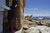 DLM1493  Veronica Marcano, 7, of Venezuela peeks around the corner as mountain goats pass by the...