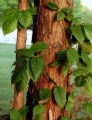 SH07F234DIYGARDENER June 25, 2007 -- Poison ivy is not contagious from person to person. It is...