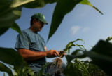 MJM232 Jim Lenz (cq) checks the health of a corn plant's root system as he makes his morning...