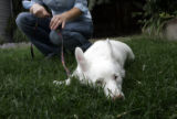 (9/14/04, Denver, CO)  Sunshine is a 10-month-old albino dog that Angelika Wilcox acquired from...