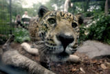 Caipora, a young female jaguar does some people watching from her cage at the Denver Zoo Thursday,...