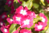 (9/15/04, Denver, CO) Vinca, Pacifica - Punch Halo at the  Welby Test Garden  (JUDY WALGREN/ROCKY...