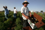 Jose Carmen Moralez, right a guest worker at the Petrocco Farms in Brighton, picks eggplants...