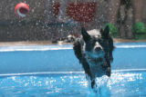 DLM2383  Clementine, a four-year-old cattle dog mix, dives to get a ball thrown by her owner Aly...