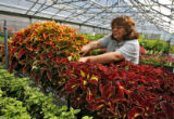 Lillian Martinez (cq), of Denver Parks and Recreation, works on some Coleus plants at the City...
