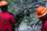 Inmates from the Colorado Department of Corrections remove a bark beetle killed tree from the...