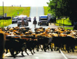(PG171) Cowboys drive about 500 head of Corriente long-horned steers along I-25 to Frontier Park...
