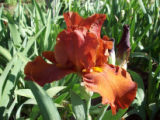 Photographer: Ron Hill, Roggen  The plant: Iris  The camera: Kodak MD853 digital camera