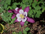 Photographer: Ron Hill, Roggen  The plant: Columbine  The camera: Kodak MD853 digital camera