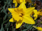 Photographer: Tracey Hungenberg, Greeley  The plant: King Alfred daffodil  The camera: Kodak LS753...