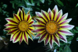 Photographer: Denise Newman, Littleton  The plant: Gazania, taken in Vail  The camera: Canon EOS...
