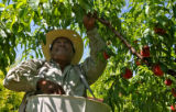 Picker Mario Lopez (cq) picks peaches, at Z's Orchards, Tuesday afternoon, July 15, 2008,...