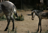 (PG03871) Elliot, a Grevy's zebra, was born six days ago (on June 27). Elliot and his mother Topaz...