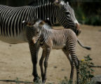 (PG03887) Elliot, a Grevy's zebra, was born six days ago (on June 27). Elliot and his mother Topaz...
