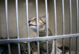 (PG3566)  Animal Care Supervisor Lisa Clifton (cq) checks on the 37 new cats at the Denver Dumb...