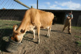 Timothy Johnson, 19, tends to the two family cows, including Elsie, a Jersey cow, kept on a...