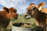 Hilde, left, a Scottish Highland cow, and Elsie, a Jersey cow, feed on some hay.  The Johnson...