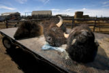 0795 The heads of three bison lay on a flat bed truck at the Downare Ranch near Hartsel Colo.,...
